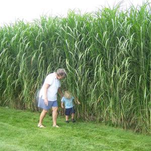 Sliver Grass