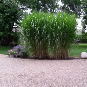 Fast Growing Grass