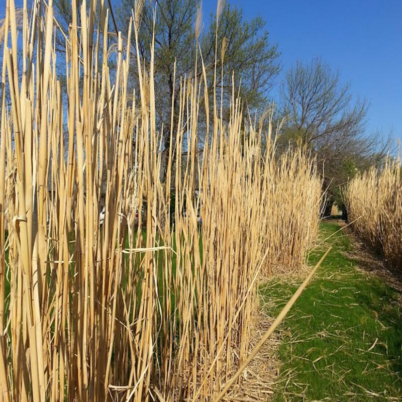Square Grasses Winter Privacy Grass