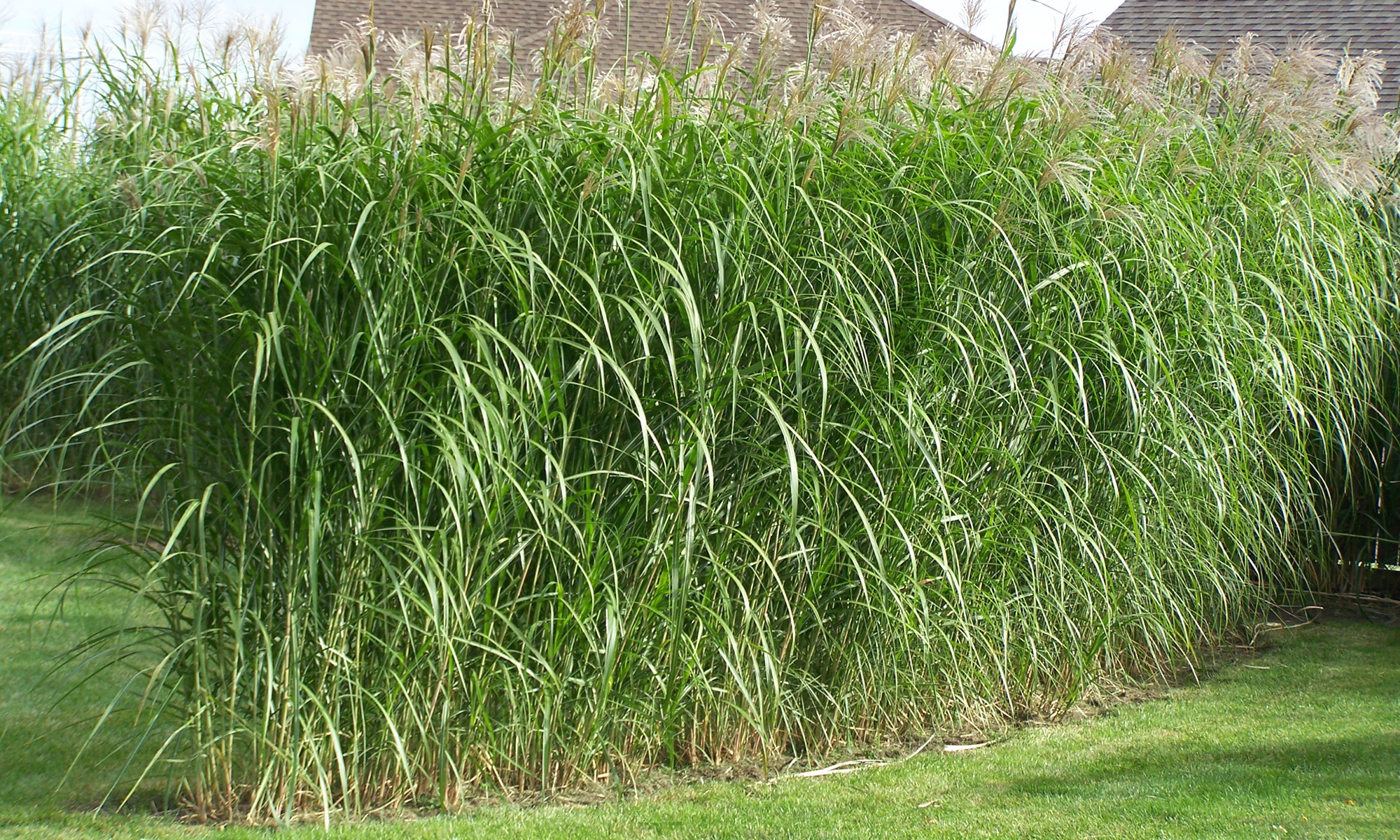 Privacy Grass